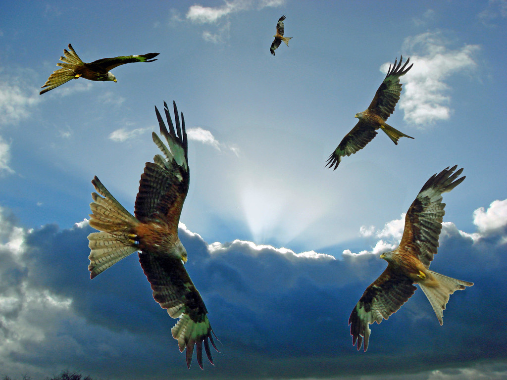 Red Kites by jesika2