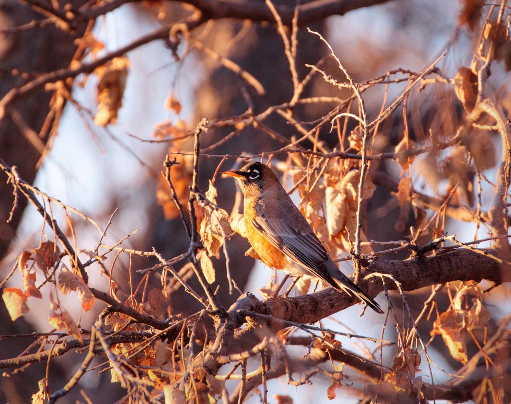 winter robin by aecasey