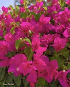 24th Dec 2018 - Bougainvillea.