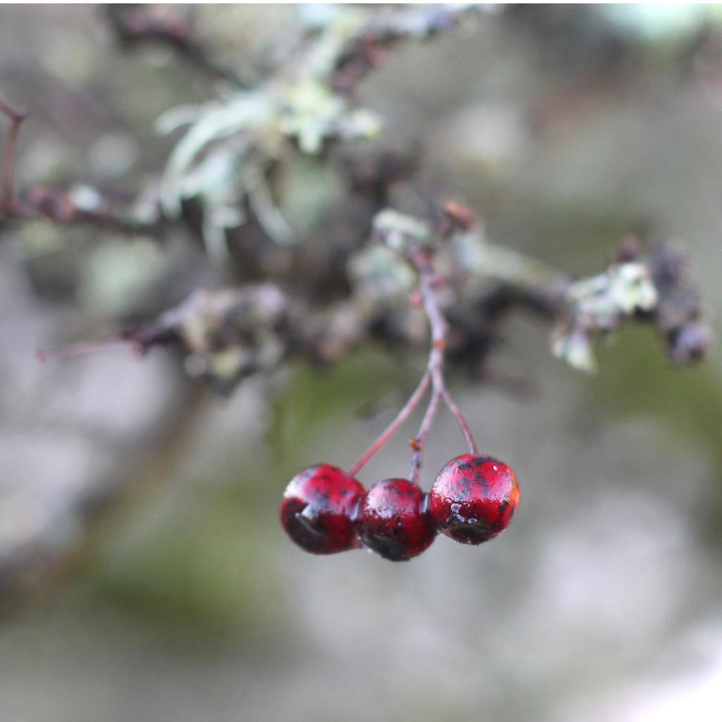 berries by callymazoo