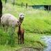 Baby Alpaca by yaorenliu