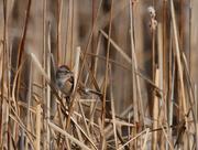 26th Dec 2018 - american tree sparrow