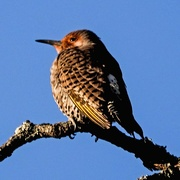 26th Dec 2018 - Maybe a Young Flicker?