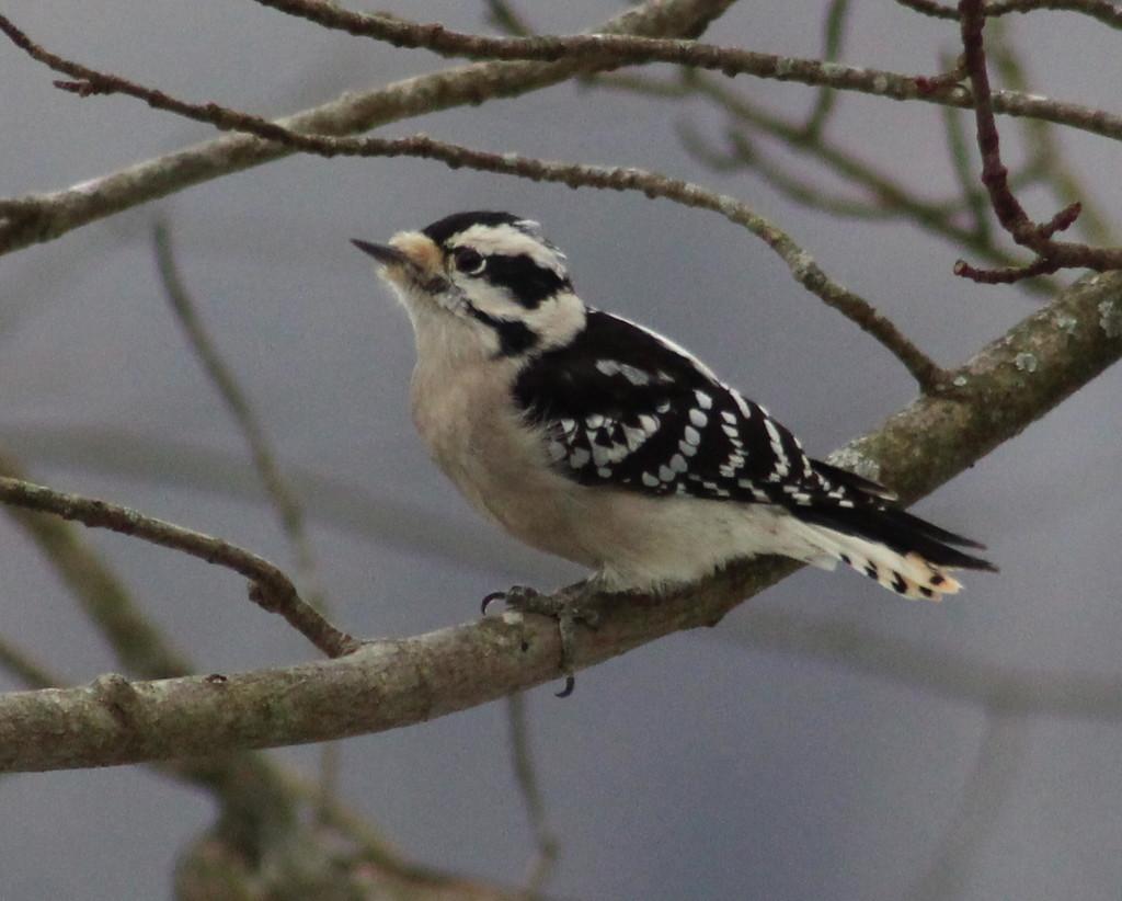 Little Miss Woodpecker by cjwhite