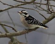 26th Dec 2018 - Little Miss Woodpecker