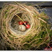 Birds Nest in the Cherry Tree.... by julzmaioro