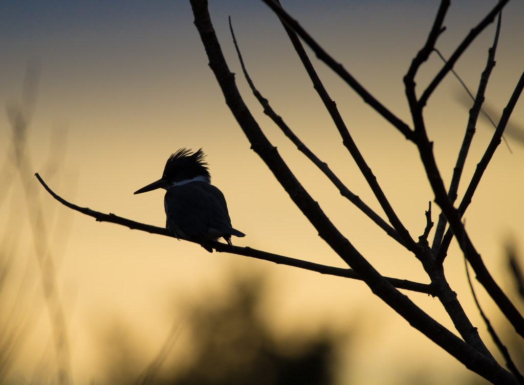 Belted Kingfisher Silhouette  by not_left_handed