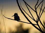 27th Dec 2018 - Belted Kingfisher Silhouette