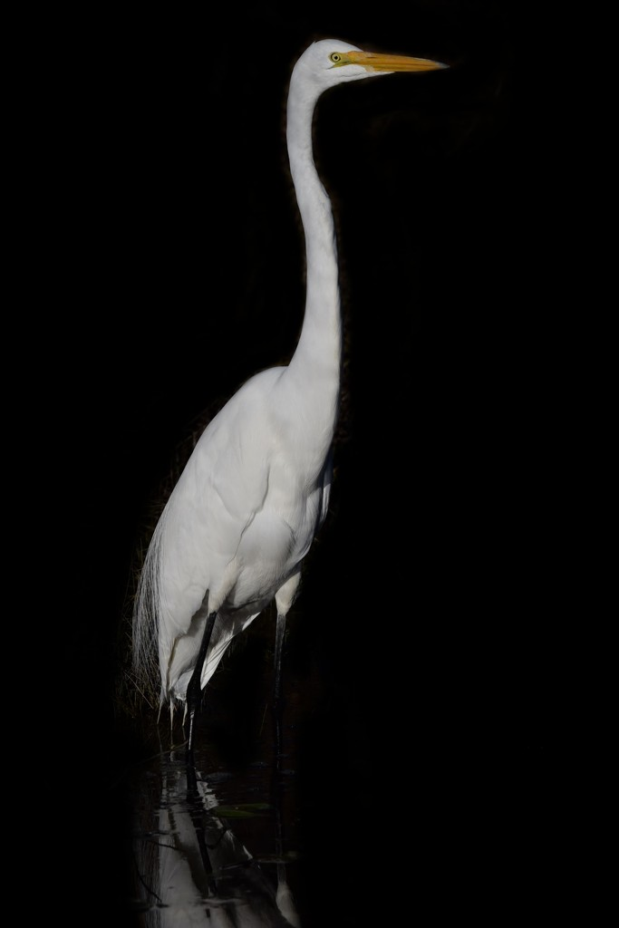 Great Egret  by flashster78