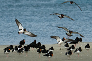 28th Dec 2018 - South Island Pied Oystercatchers arriving at high tide