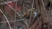28th Dec 2018 - White-throated Sparrow