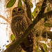 Barred Owl! by rickster549