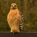 Red Shouldered Hawk on the Fence! by rickster549