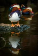 28th Dec 2018 - Reflecting Mandarin duck