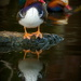 Reflecting Mandarin duck by teriyakih