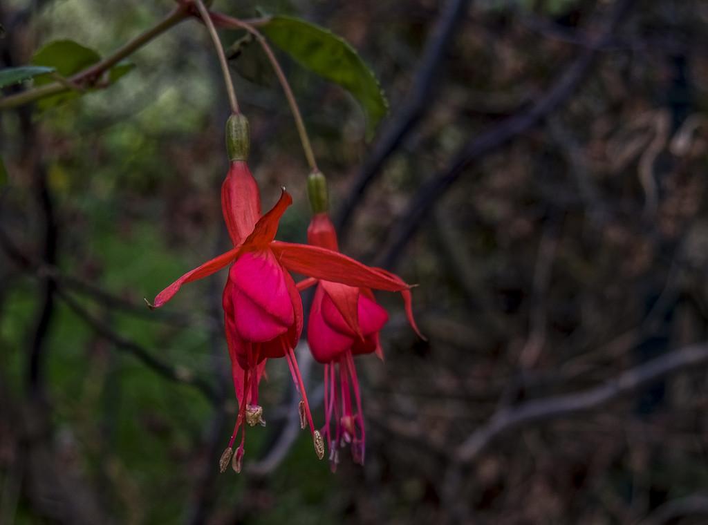 Hardy Fuchsia. by tonygig