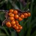 Iris Foetidissima by tonygig