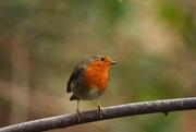 29th Dec 2018 - Cocky little robin........