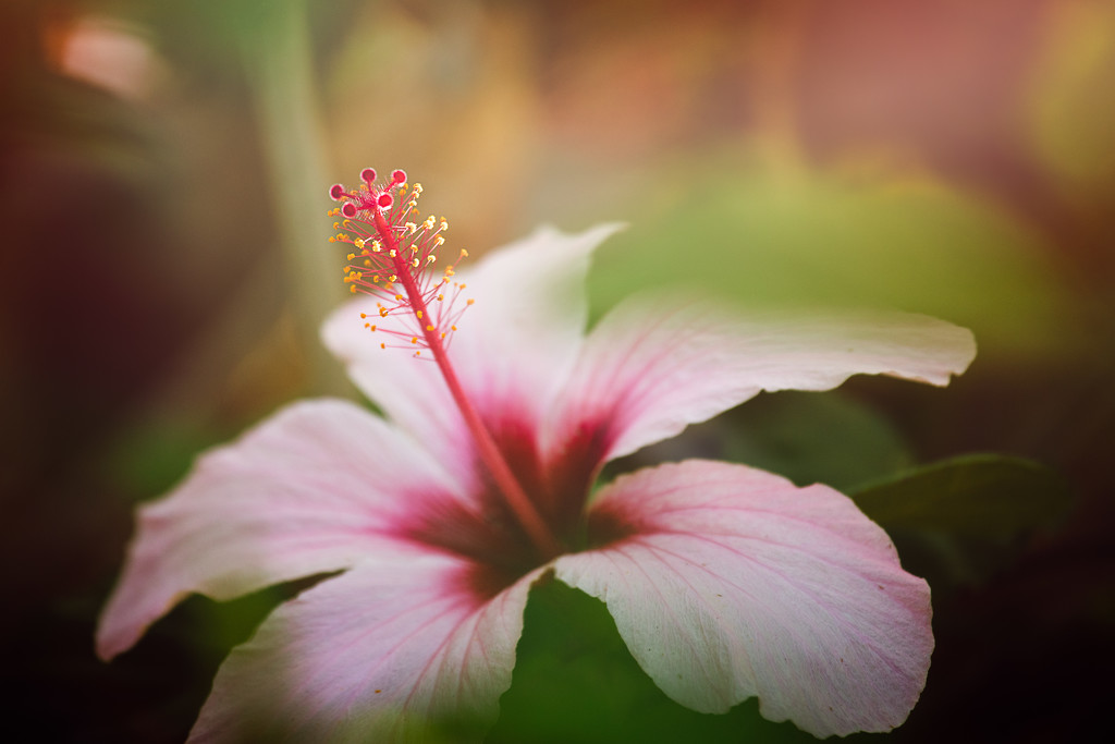 Hibiscus by jodies