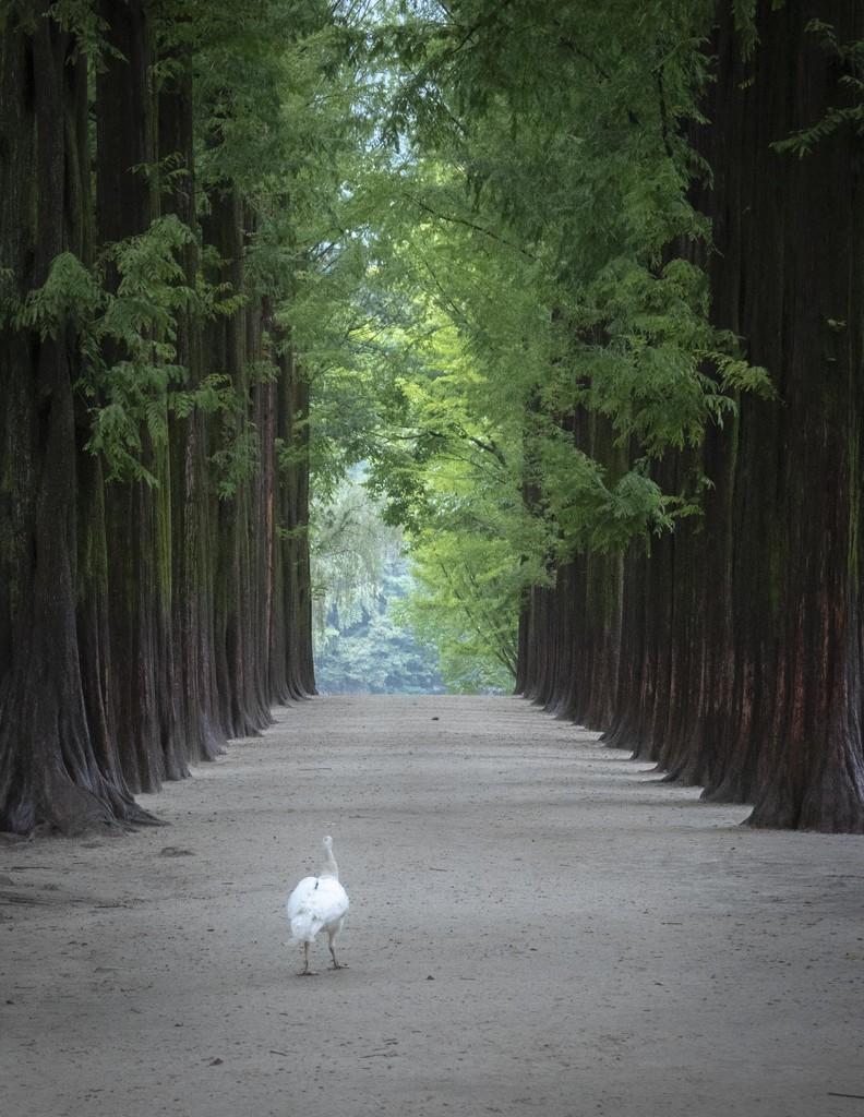 The Albino Peacock Says Goodbye by jyokota