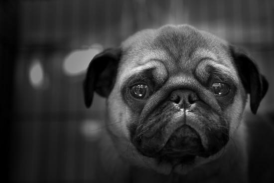 sad pug by peta_m