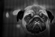 28th Dec 2018 - sad pug