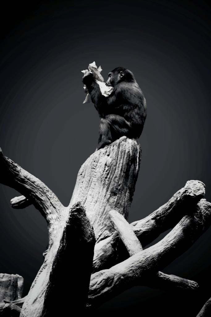 Gorilla Enjoys A Snack by randy23