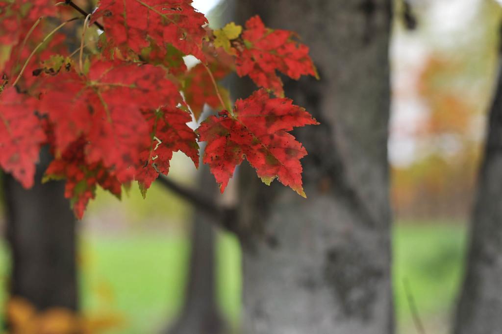 Red Maple by loweygrace
