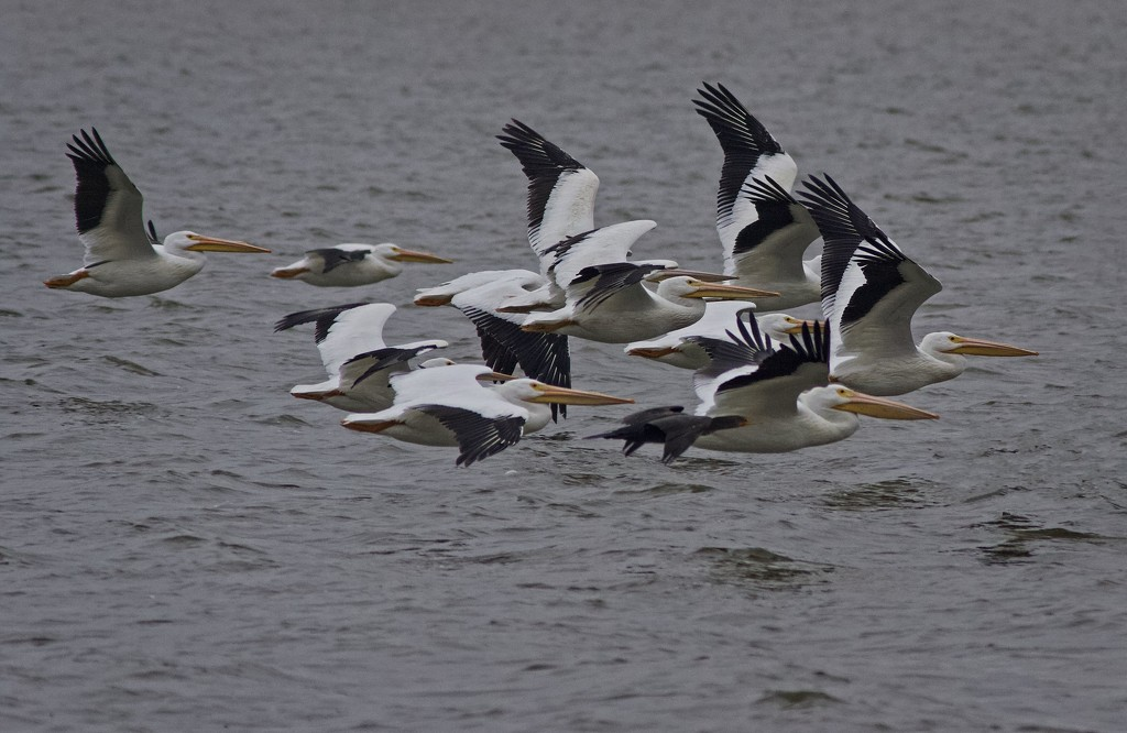 LHG_3234 White pelicans inFlght by rontu