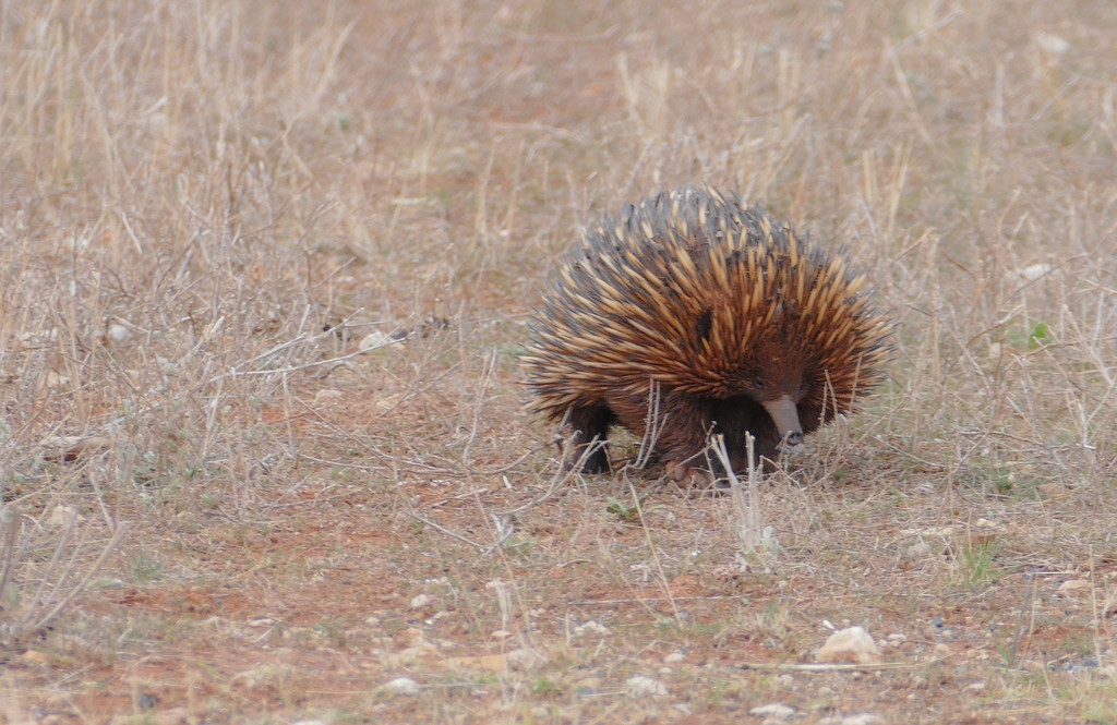 Echidna by hrs