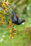 31st Dec 2018 - Tui - covered in pollen