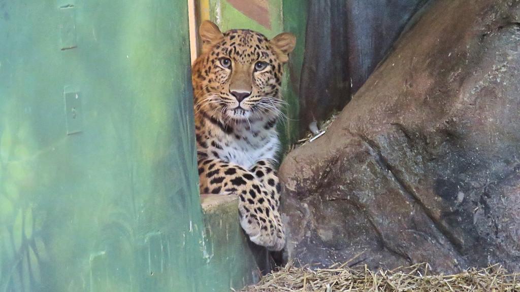 Amur leopard by maggie2