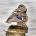 Mallard duck! by fayefaye