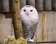 31st Dec 2018 - Snowy Owl