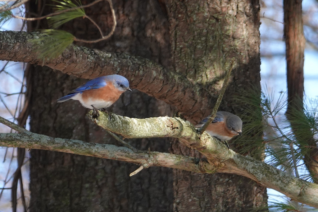 Eastern Bluebirds by annepann