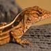 Giant Lizard! by rickster549