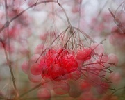 1st Jan 2019 - fruit of the guelder rose bush