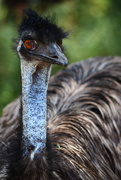 31st Dec 2018 - Emu - Werribee Open Range Zoo