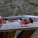 Bullfinch x 3