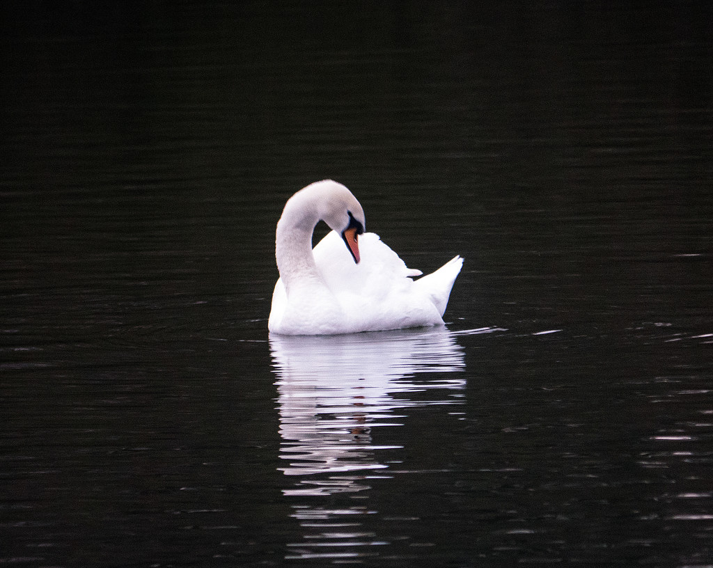 Morning Swan by tonygig
