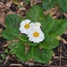 White Polyanthus Flowers