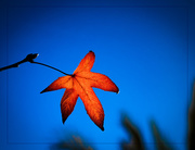 1st Jan 2019 - Autumn Leaf........Delayed