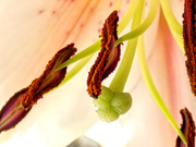 2nd Jan 2019 - Stamens of a Lily