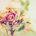 vintage rose by pistache