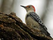 2nd Jan 2019 - Red-bellied woodpecker landscape