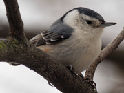 2nd Jan 2019 - White-breasted Nuthatch in tree