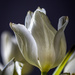 fading tulip by jernst1779