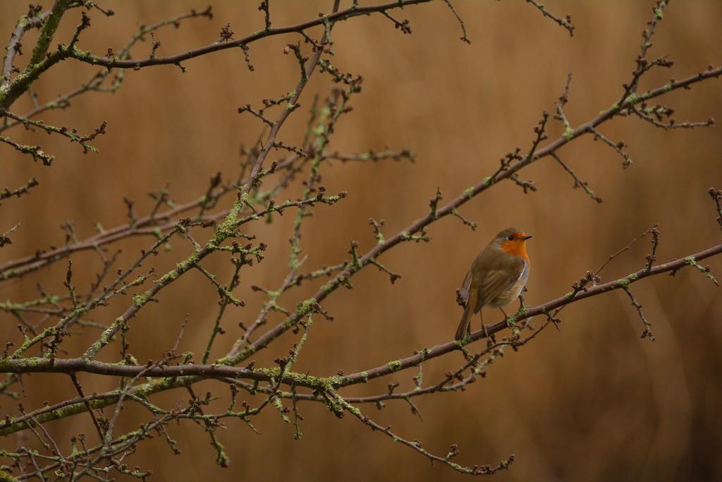 Robin...... by ziggy77
