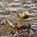 Grey Wagtail on a rock.........