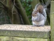 3rd Jan 2019 - A Grey Squirrel With Food